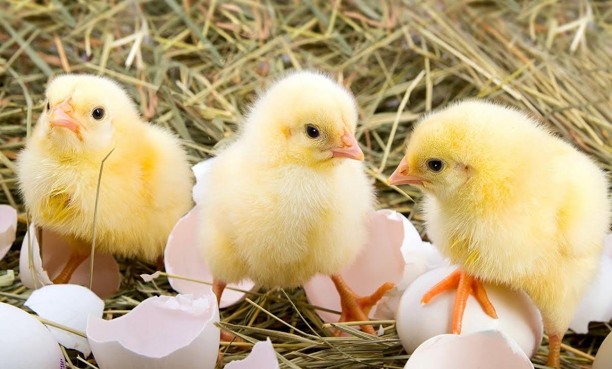 La Unión de Productores de Huevos de Estados Unidos se ha comprometido a terminar con el asesinato de pollos macho.