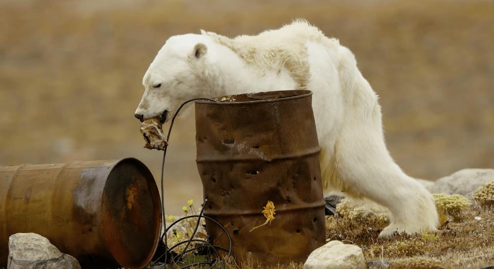 Oso polar antes de morir. Foto: Oso Polar/ Facebook @paulnicklenphoto