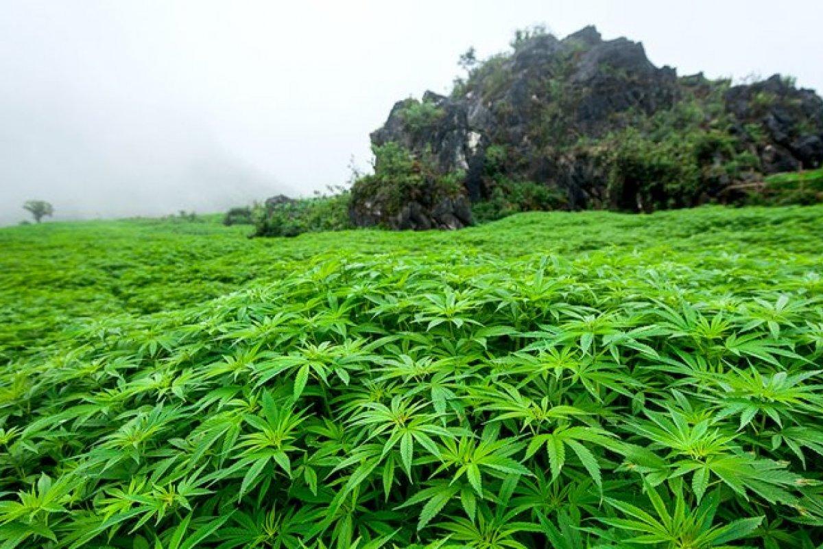 En este año, ha habido un balance en la aceptación y rechazo de la cannabis