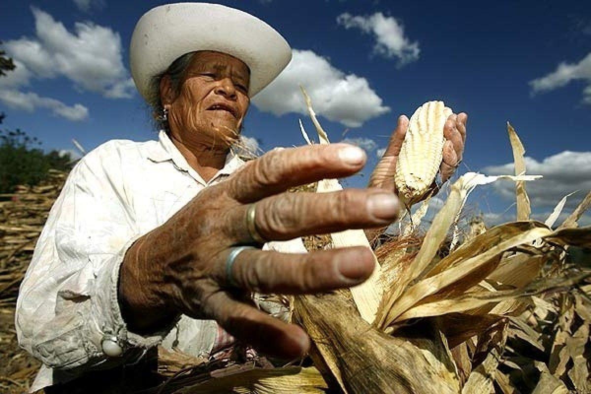 Los jóvenes se fueron, al campo mexicano lo sostiene la gente mayor.