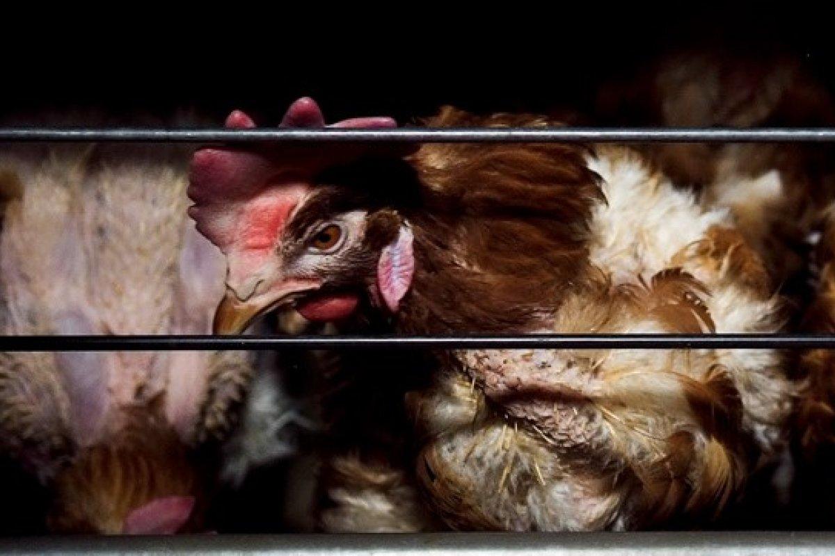 Una gallina en vida silvestre es capaz de poner hasta 40 huevos al año, pero con el método de jaulas de batería, los animales ponen hasta 300 huevos por año.