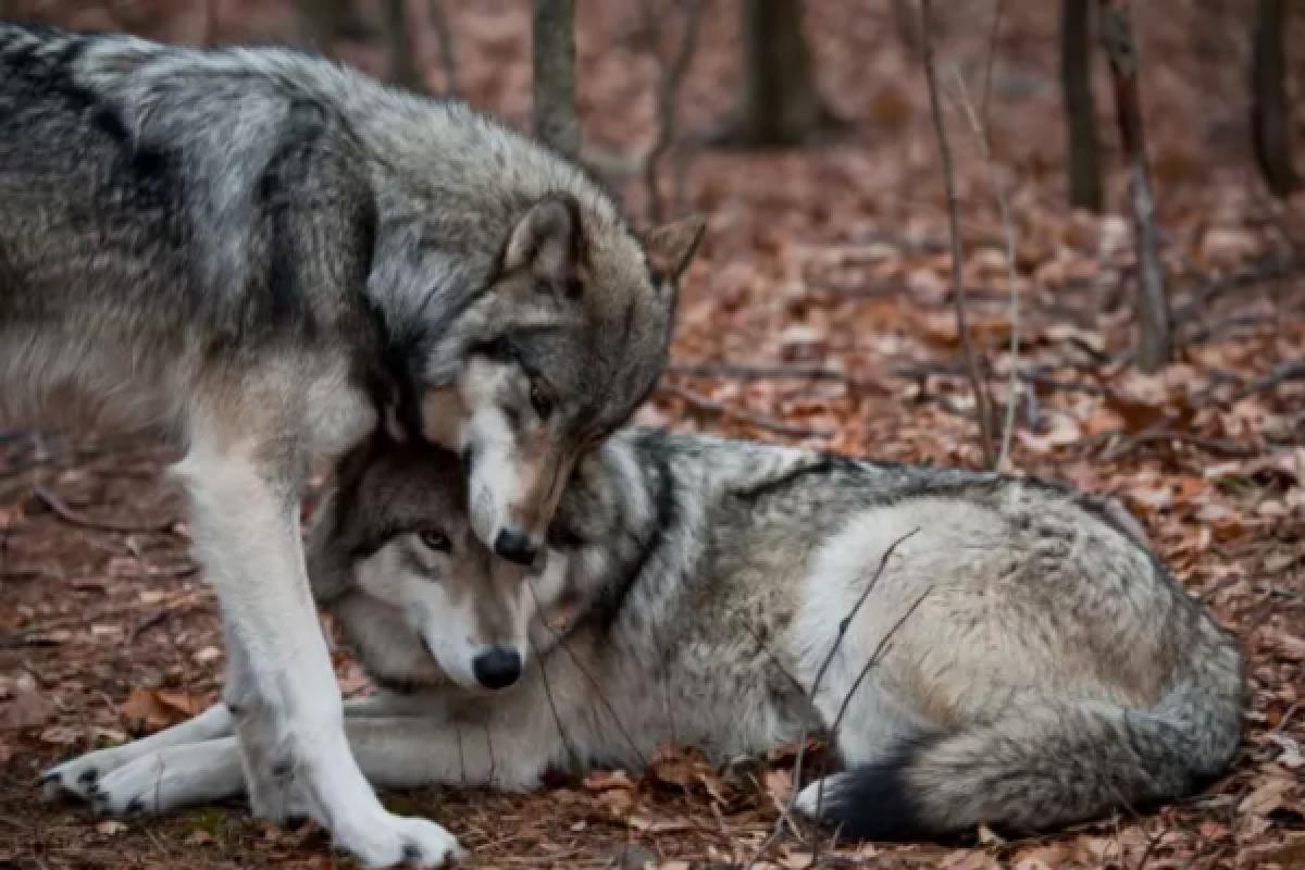 El lobo gris tiene un modelo de manada muy similar al deuna familia: un lobo, una loba y sus cachorros.