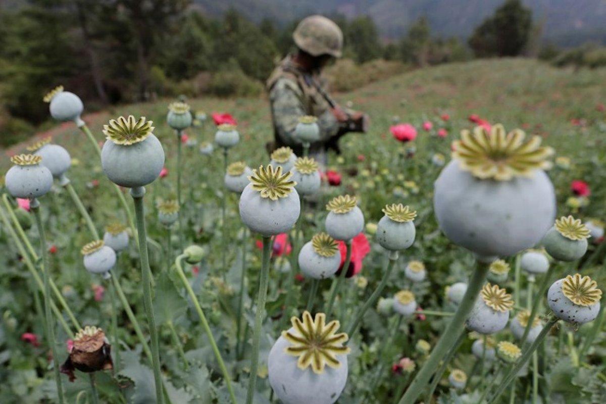 El 90% de la siembra se concentra en cuatro estados: Sinaloa, Durango, Chihuahua y Guerrero.