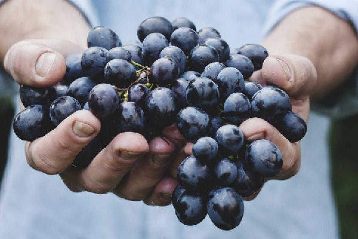 Investigadores encontraron el secreto para evitar que los pulmones se inflamen por la EPOC, se encuentra en las uvas.