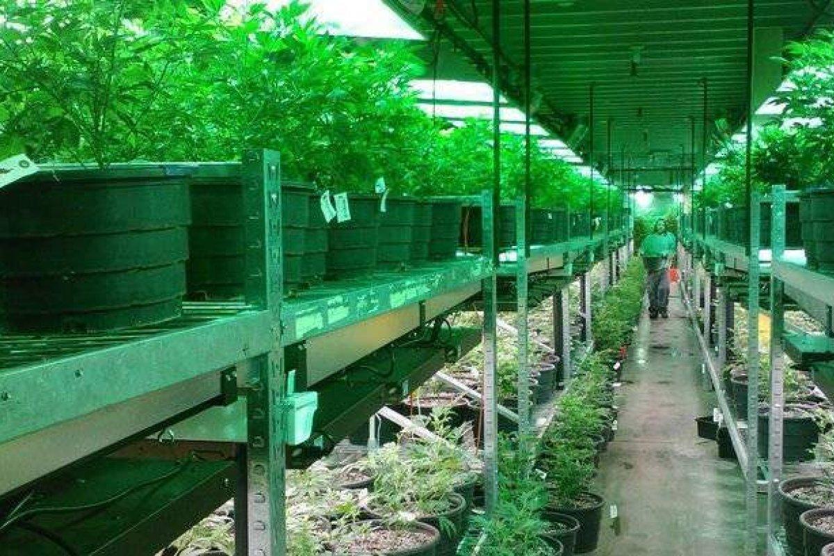 En Calfornia, a los productores de marihuana les sale más caro unirse al sistema que permanecer en la ilegalidad