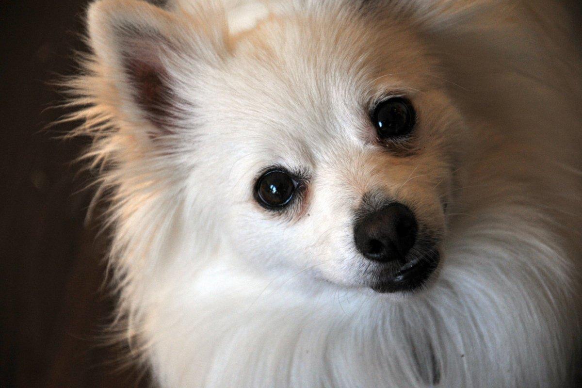 Estas son las razas del perros más robadas de la CDMX. Foto: publicdomainpictures