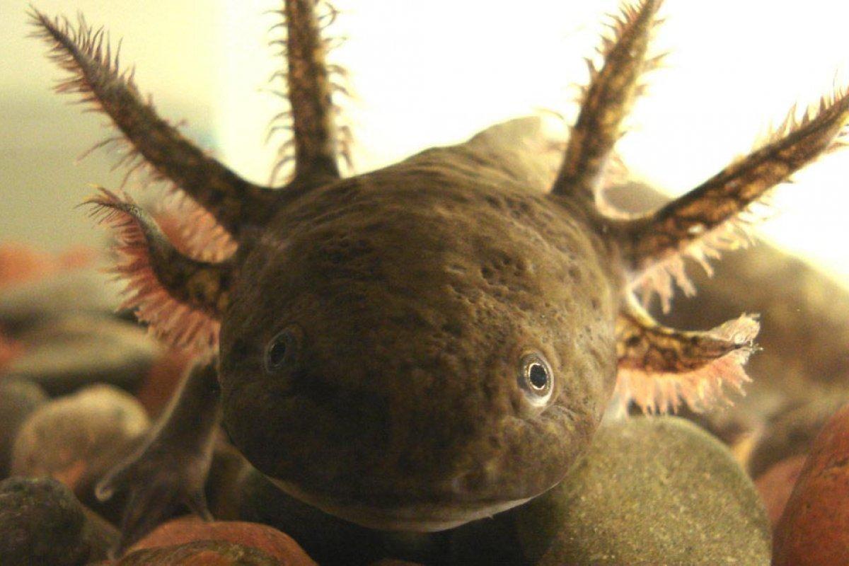 La contaminación de los canales de Xochimilco y la introducción de especies invasoras son de las principales amenazas para el axolote